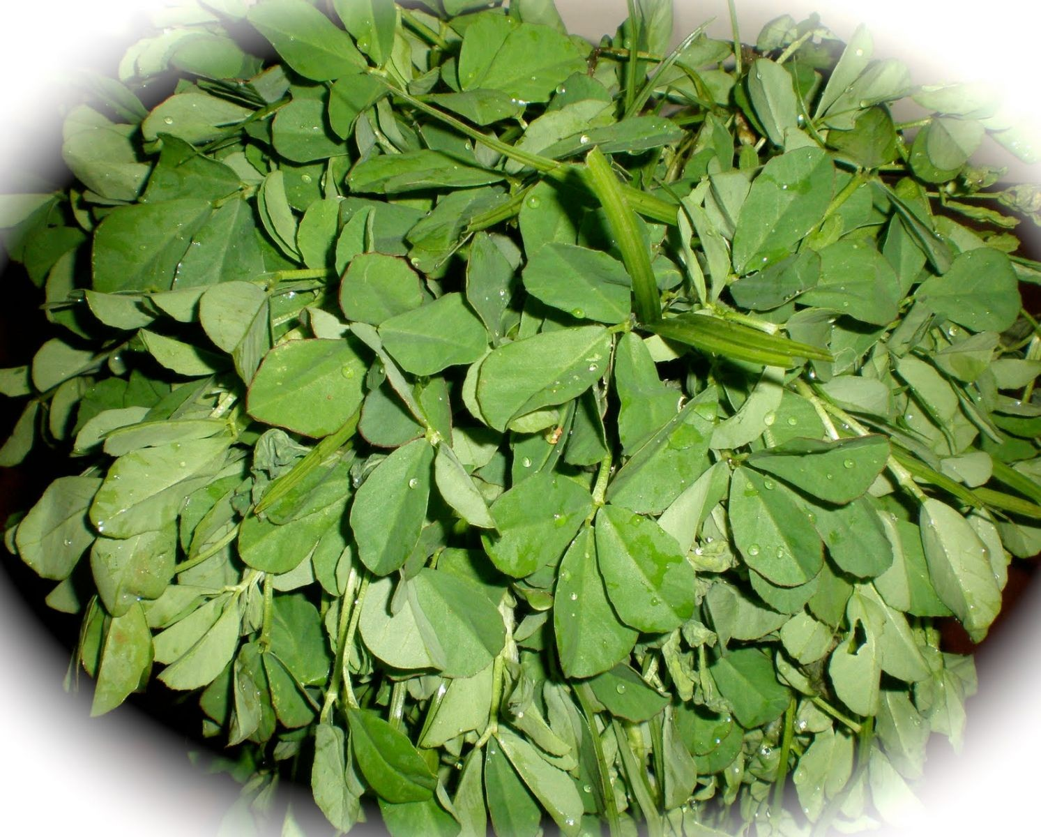 Fenugreek Leaves - Methi